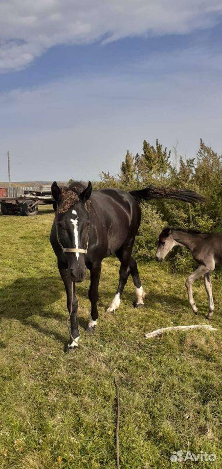 Лошадь  89233210881 купить 1